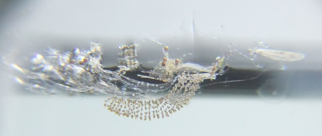 Mosquito eggs and pupa skins